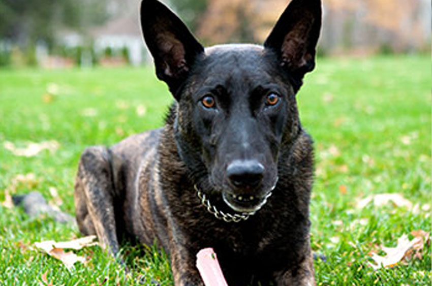 how to train a dutch shepherd
