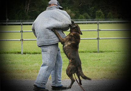 Dutch Shepherds are known for their loyalty and reliability
